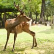 Nara Deer — Stock Photo