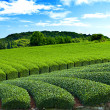 Tea plantation — Stock Photo #12637837
