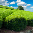 Tea plantation — Stock Photo #12637847