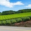 Tea plantation — Stock Photo #12637855