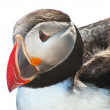 Puffin on white — Stock Photo #18610863