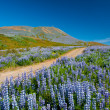 Lupin and mountains — Stock Photo