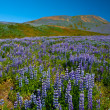 Lupin and mountains - Stock Photo