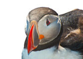 Puffin on white — Stock Photo