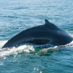 Humpback whale fin — Stock Photo #20189417