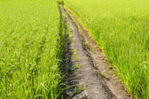 Path in the rice field — Stock Photo