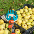 Stock Photo: Fruit picker and pears
