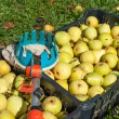 Fruit picker and pears - Stock Photo