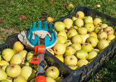 Fruit picker and pears — Stock Photo