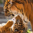 Tigers are playing  — Stockfoto