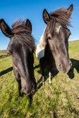 İzlandalı atlar — Stok fotoğraf
