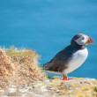 Puffin on the cliff — Stock Photo