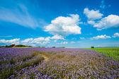 Lacy phacelia field — Stock Photo