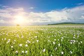 Zon en papaver veld — Stockfoto