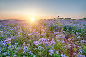 Lacy phacelia field — Stockfoto