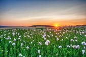 Puesta de sol sobre un campo de amapola — Foto de Stock
