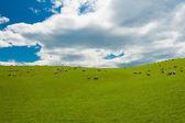 Ovce na novém zélandu — Stock fotografie