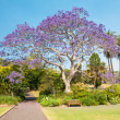 Jacaranda Tree — Stock Photo