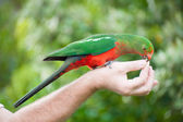 King-parrot — Stock Photo