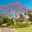 Jacaranda Tree — Stock Photo #40290161