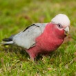 Stock Photo: Galah cockatoo