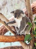Coala — Fotografia Stock
