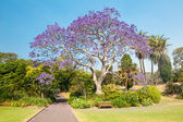Jacaranda Tree — Stock Photo