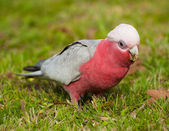 Galah cockatoo — Stock Photo