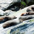 Stock Photo: Seal Colony