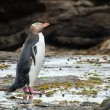 Stock Photo: Yellow-eyed penguin