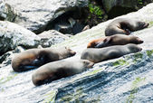 Seal Colony — Stock Photo
