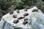 Seal Colony — Stock Photo