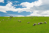 Sheep in the New Zealand — Stock Photo
