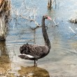 Black swan — Stock Photo #49449691
