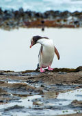 Yellow-eyed penguin — Stock Photo