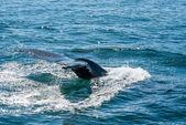 Humpback whale fin — Stock Photo