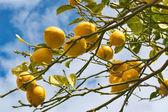Lemon tree branch in Sorrento — Stock Photo