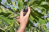 Collecting figs — Stock Photo
