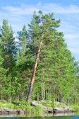 Pine tree near the water — Stock Photo