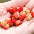 Wild strawberry hand full of wild strawberries — Stock Photo