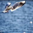 Seagull, gull - Stockfoto