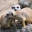 Couple of curious meerkats (Suricata suricatta) - Stock Photo