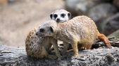 Couple of curious meerkats (Suricata suricatta) — Stock Photo