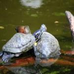 Turtles Sunbathing on a Log — Stock Photo #20020589
