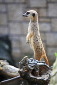 Animal Alert meerkat (Suricata suricatta) standing on guard — 图库照片