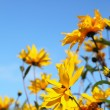 Yellow flowers — Stock Photo #20640613