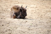 Wisent animal European bison, Poland — Stock Photo