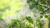 Green flower Cotinus coggygria or Smoketree — Stock Photo