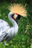African Crowned Crane crested — Stock Photo