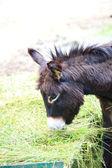Huvudet av en åsna djur äta mat — Stockfoto